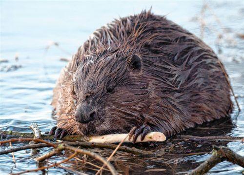 Der Biber ist streng geschützt. Mehrere tote Tiere entdeckte ein Raublinger jetzt am Happinger See.Foto dpa