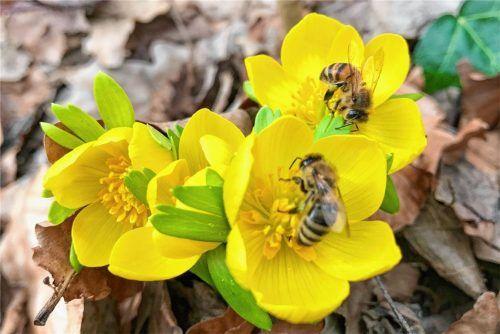 Erste Blüten erfreuen Menschen und Bienen