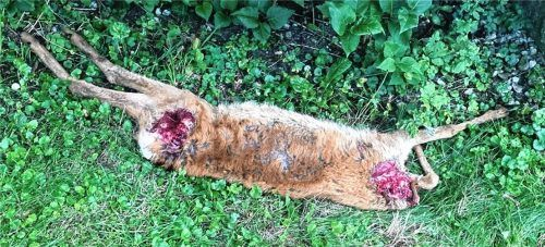 Ein Rehkitz wurde gerissen und kopflos in einem Oberholzhamer Garten aufgefunden.Foto  RE