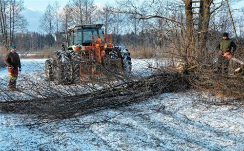Die aufgewachsenen Erlengehölze werden im Bergener Moos mittels Motorsäge auf den Stock gesetzt und der Gehölzschnitt mit Traktoren mit Zwillingsbereifung über die gefrorenen Niedermoor-Streuwiesen herausgezogen. Foto LPV Traunstein
