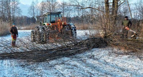 """Nur wo die Sicht frei ist, bauen die Wiesenbrüter ihr Nest. Im Bergener Moos führten Landwirte im Auftrag des LPV die """"Entbuschung"""" und das Köpfen von Erlen durch. Foto Sandner"""