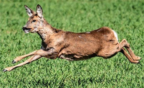 Ein Reh flüchtet vor einem frei laufenden Hund. Gerade in der aktuellen Setzzeit ist das für die Tiere gefährlich. Deshalb gehören Hunde im Wald an die Leine. Foto Rumpenhorst/dpa