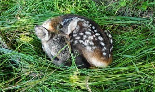 Die Rettung der kleinen Kitze geht den Helfern des Vereins Wildtierhilfe aus Amerang auch gefühlsmäßig immer sehr nah.Foto re
