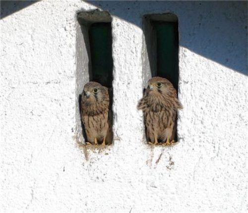 Diese zwei Falken machen es sich in den Luken bequem.