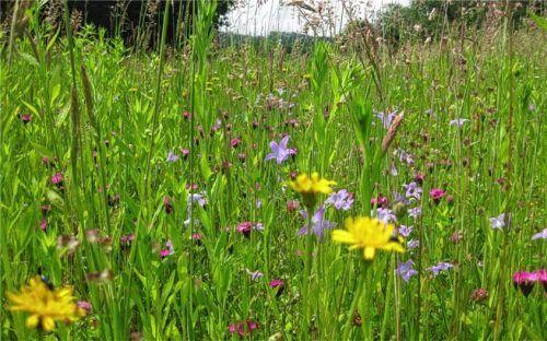 Es blüht auf der Maßnahmenfläche bei Hausing: Wiesenglockenblume, Karthäusernelke und Rauer Löwenzahn strahlen um die Wette.Foto Nirschl