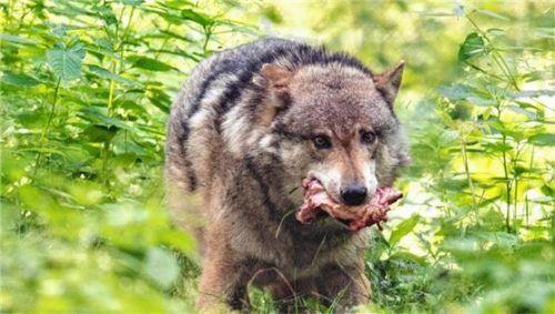 Großes Problem für die Landwirte und Almbauern: der Wolf. Foto dpa