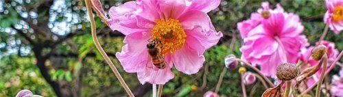Um genug Pollen sammeln zu können, war das Frühjahr für die Bienen zu kalt und der Sommer zu heiß. Dennoch sind die Imker mit der Ernte zufrieden. Foto Kreklau