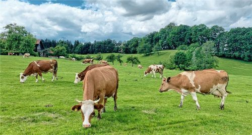 Wie aus dem Bilderbuch: Über den Anblick von Kühen auf der Weide freuen sich viele Menschen. Viele Betriebe treiben die Tiere im Sommer aus. Foto hö