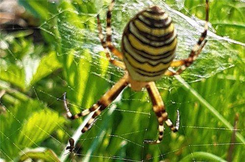 Zwischen zwei Blumenstängeln hat die Wespenspinne in Helga Biedermanns Garten ihr Netz gespannt. Fotos privat (2) / schlecker(1)