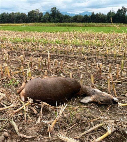 Das gerissene Reh liegt mitten im Maisfeld. Jäger Karl Bauer appelliert an alle Hundebesitzer, ihre Tiere an die Leine zu nehmen. Foto Bauer