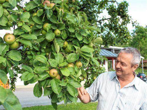 In den heimischen Obstgärten wird es herbstlich und an vielen Bäumen steht nun die Ernte an. ORO-Geschäftsführer Joachim Wiesböck kann in diesem Jahr mit einem guten Ertrag rechnen. Foto Steffenhagen