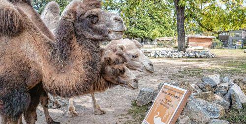 """Jetzt wird sogar schon im Zoo geimpft, freilich nur die Besucher: Drei Kamele betrachten ein Plakat zur Aktion """"Impfen unter Palmen"""" im Zoologisch-Botanischen Garten Wilhelma in Stuttgart. Foto dpa"""