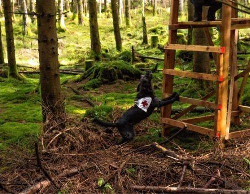 """Rettungshunde können große und schwer zugängliche Gebiete in vergleichsweise kurzer Zeit absuchen. Unser Bild zeigt einen Hund bei der Übung """"Mantrailing"""".Foto  BRK"""